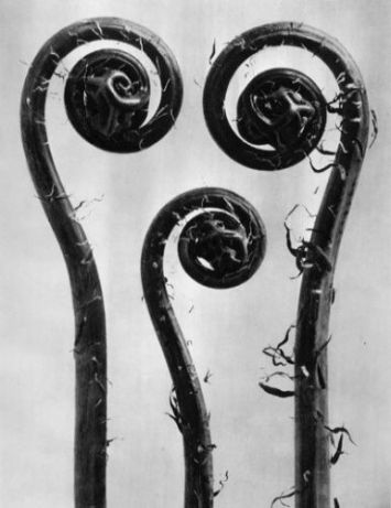 Large_WL_Photo_Karl Blossfeldt 008